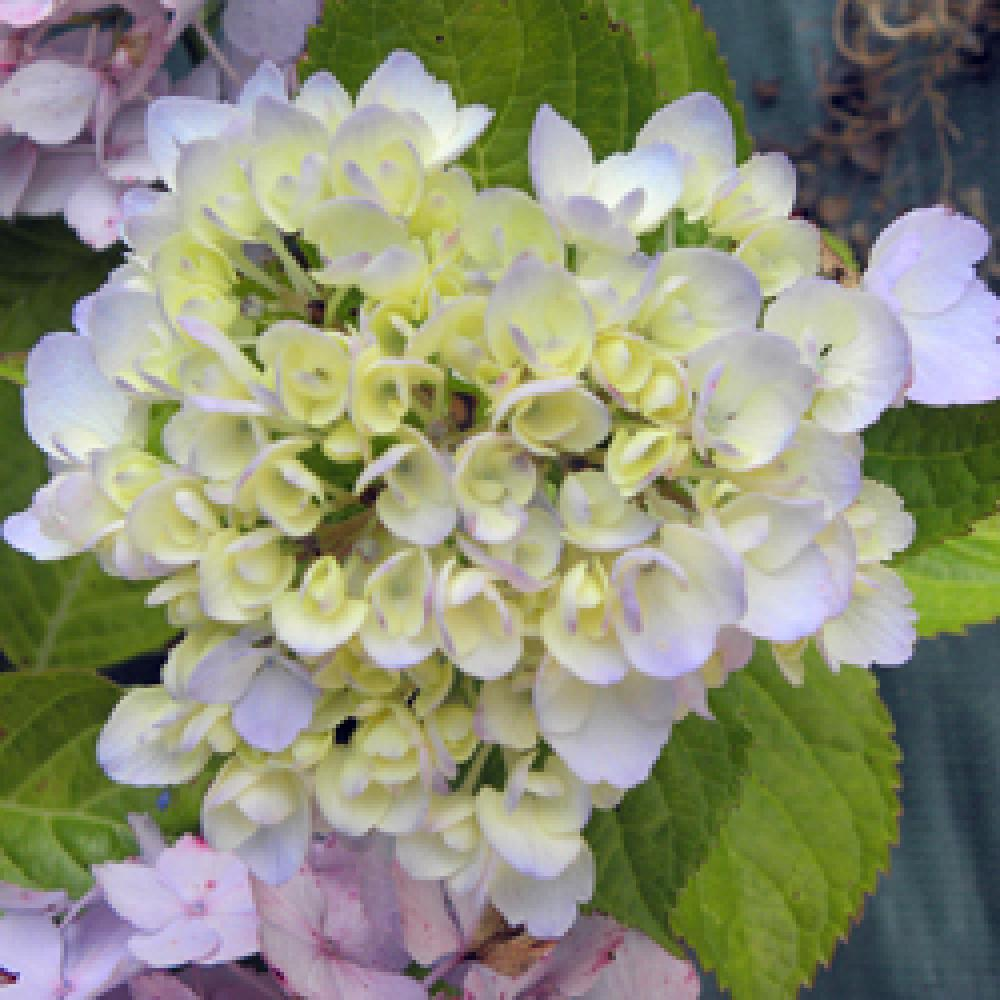 HYDRANGEA macrophylla 'Marie-Claire' Hortensia image 2