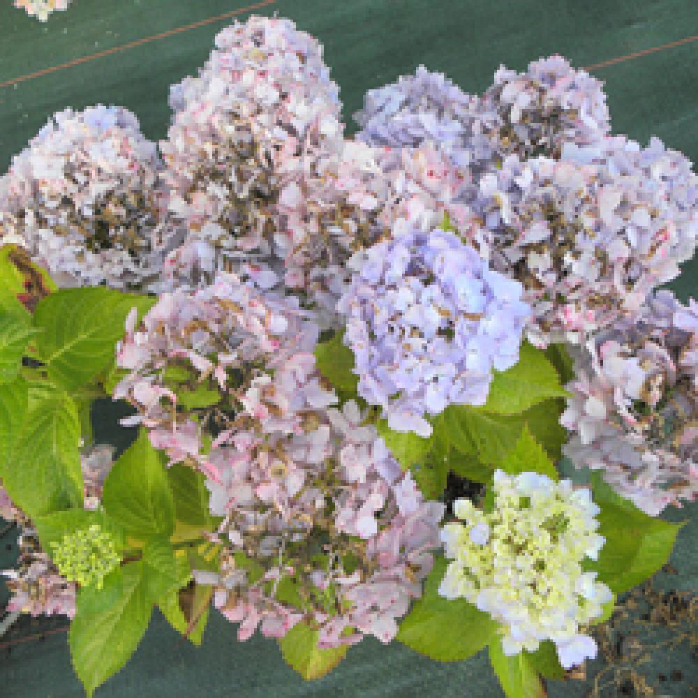 HYDRANGEA macrophylla 'Marie-Claire' Hortensia image 3