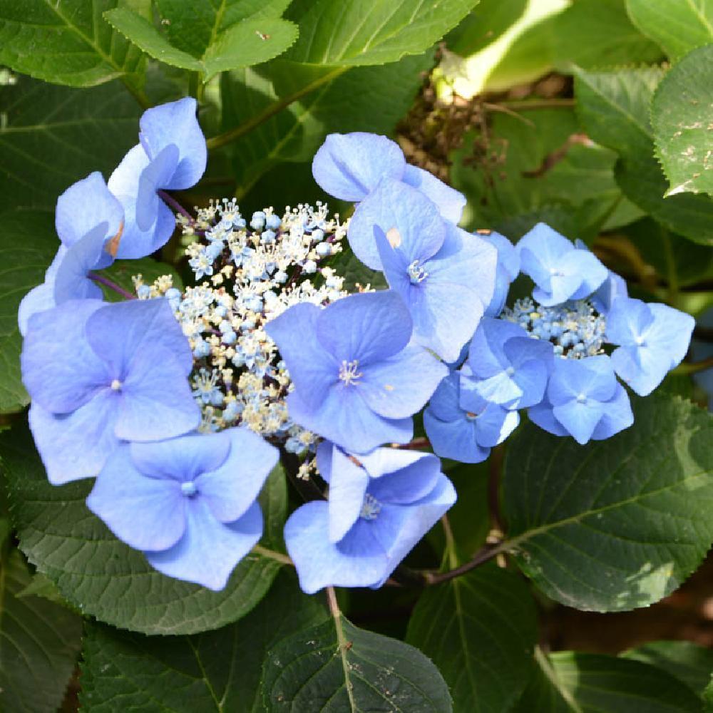 Hydrangea Macrophylla Zorro Bleu Hortensia A Fleurs Plates