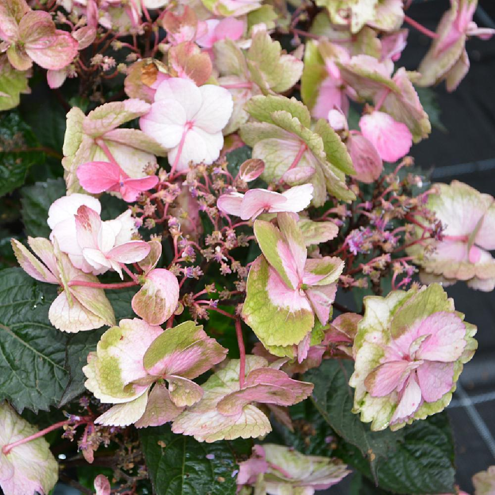 HYDRANGEA serrata 'Cotton Candy' HYDRANGEA serrata Flair&Flavours® Cotton Candy 'Mak20' image 1