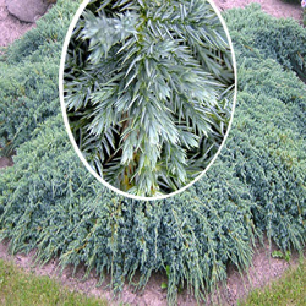 Genevrier blue carpet plantation carpet vidalondon - Juniperus squamata blue carpet ...