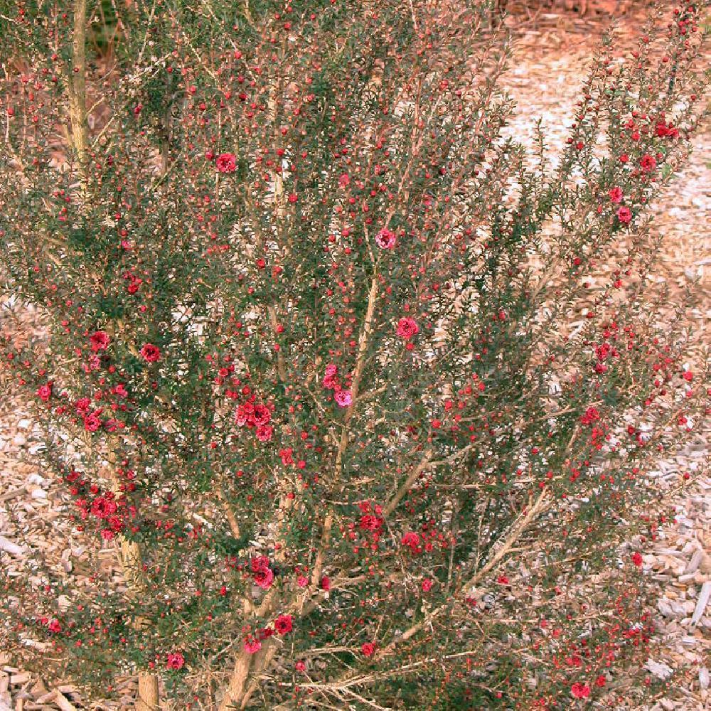 LEPTOSPERNUM scoparium 'Winter Cheer' LEPTOSPERMUM rouge image 2