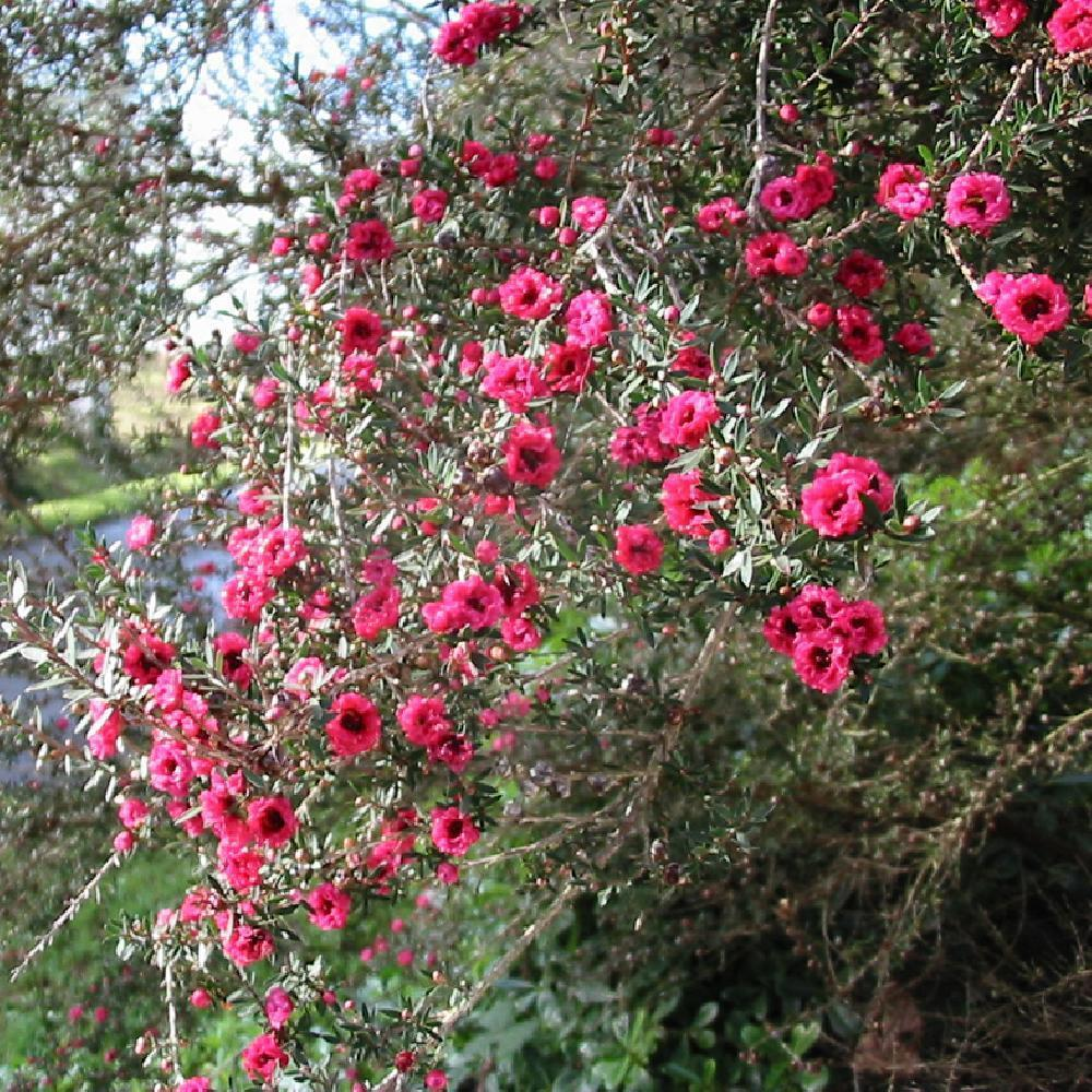 LEPTOSPERNUM scoparium 'Winter Cheer' LEPTOSPERMUM rouge image 3