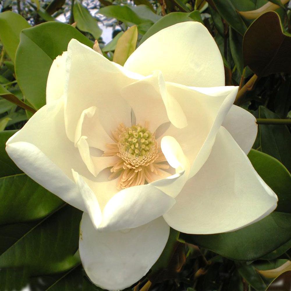 Magnolia Grandiflora Le Nantais Magnolia A Grandes Fleurs
