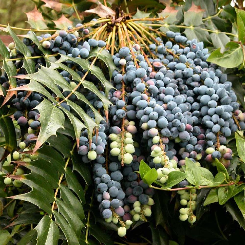 MAHONIA x media 'Charity'  image 1