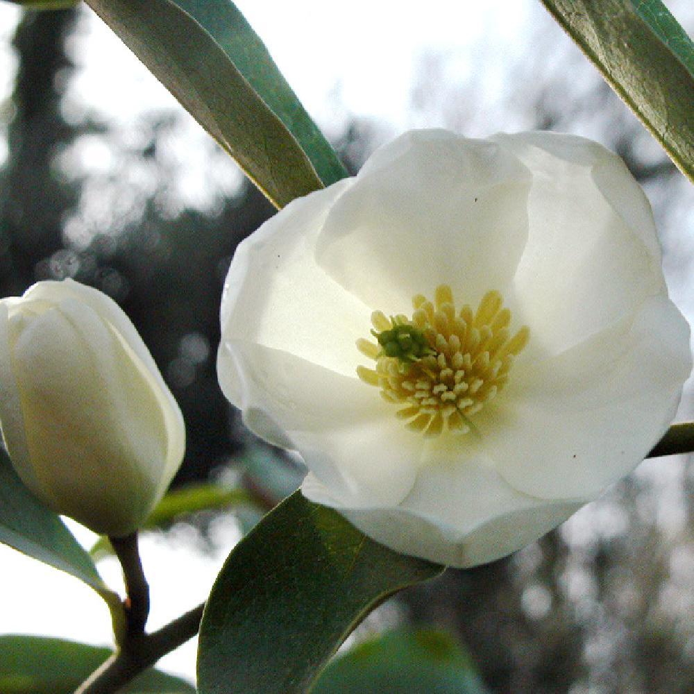chelone floraison plantation