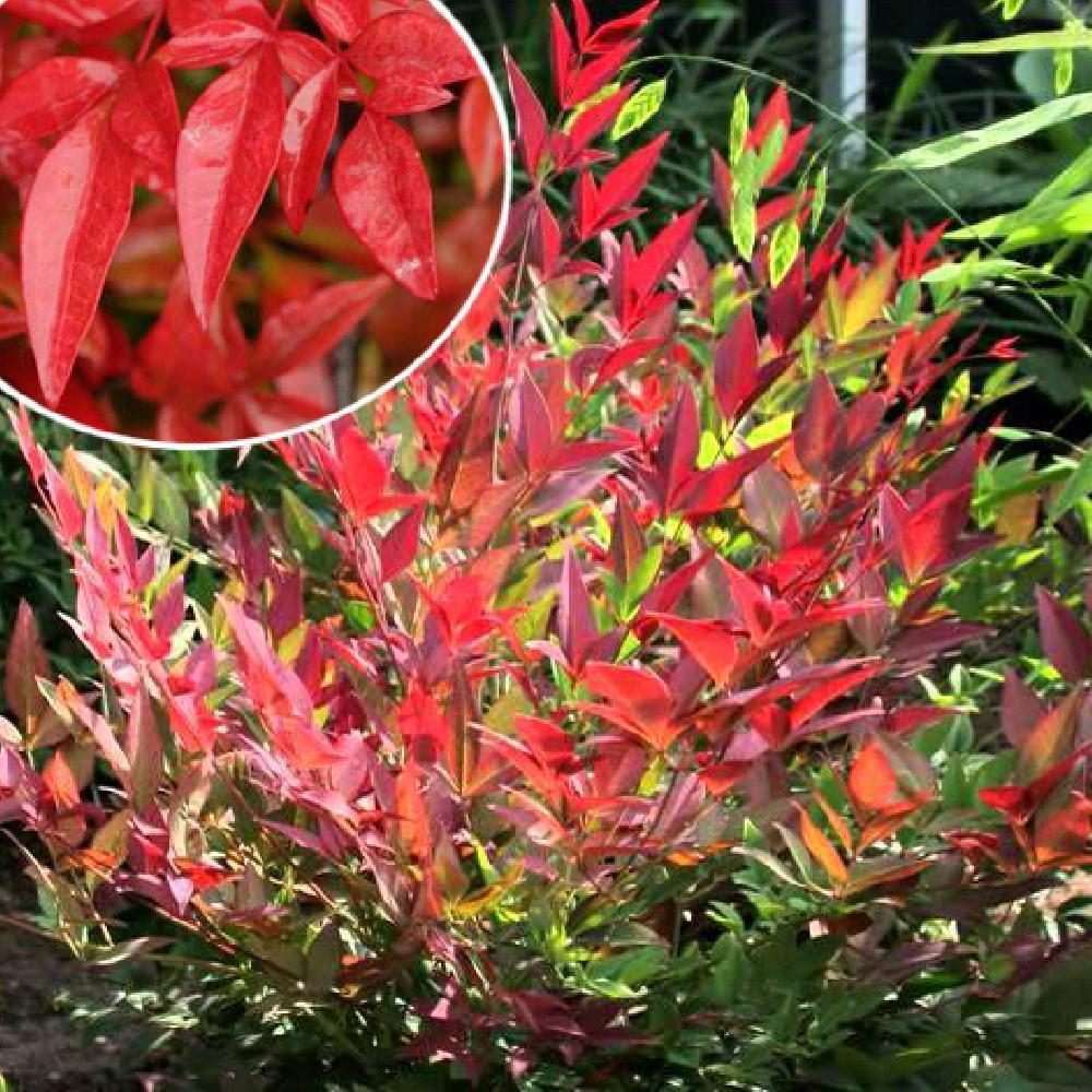 Nandina domestica obsessed 39 seika 39 bambou sacr nandina domestica 39 seika 39 p pini res - Bambou sacre fire power ...