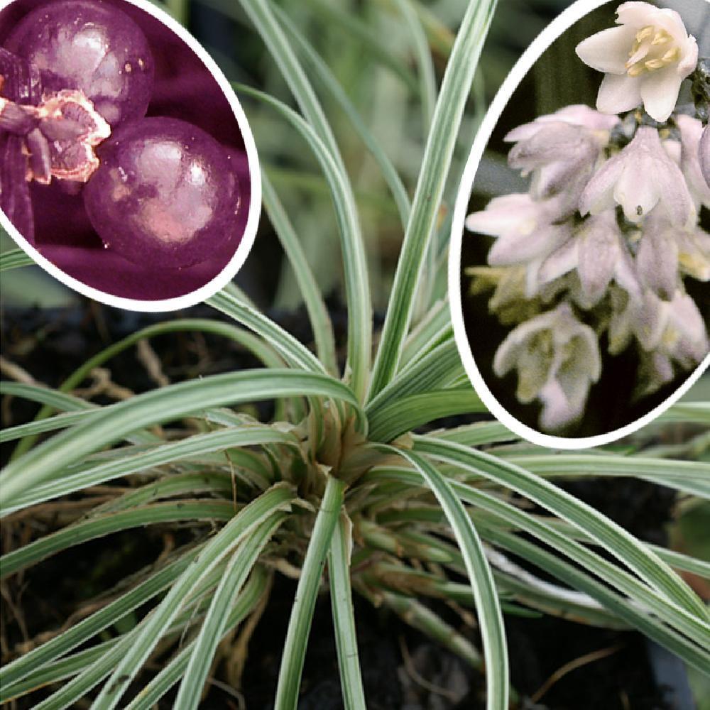 ophiopogon japonicus 39 variegatus 39 muguet du japon image 1. Black Bedroom Furniture Sets. Home Design Ideas