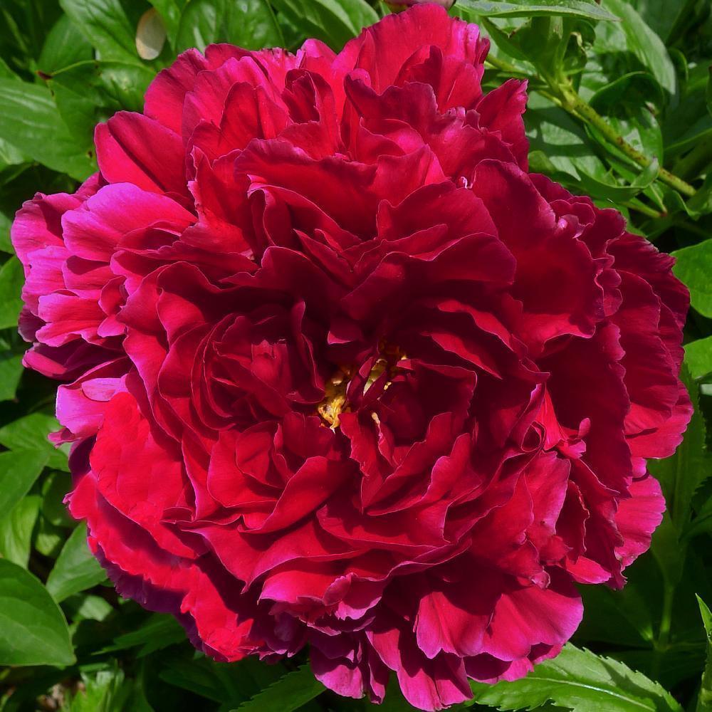 PAEONIA 'Old Faithful' Pivoine Herbacée Image 1