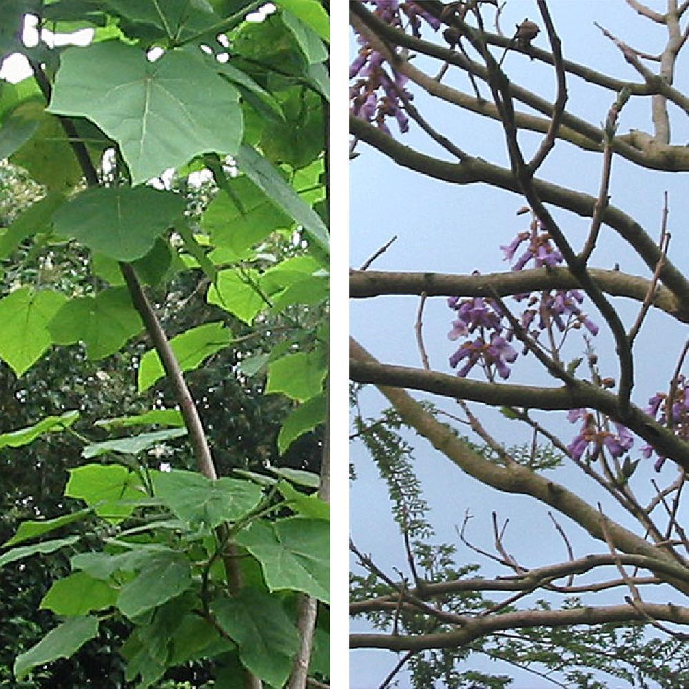 Paulownia arbre