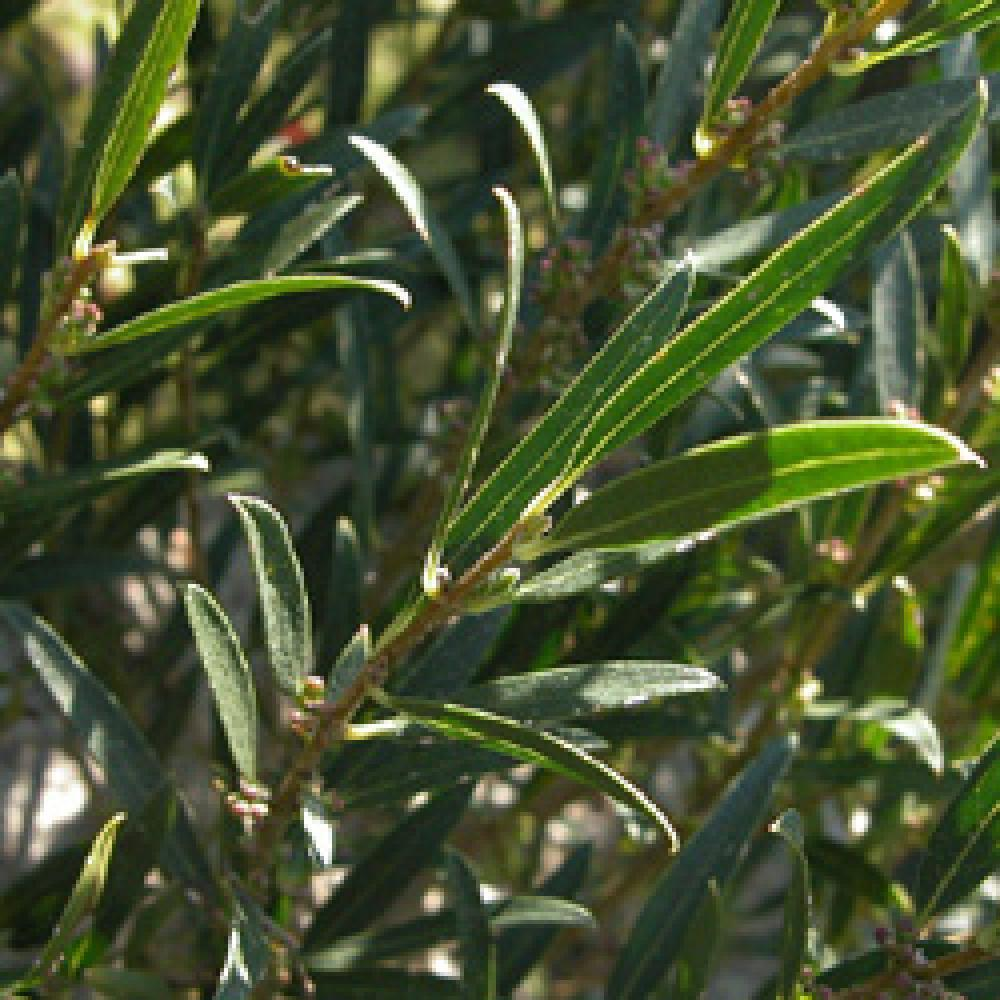 Phillyrea Angustifolia Frosmarinifolia