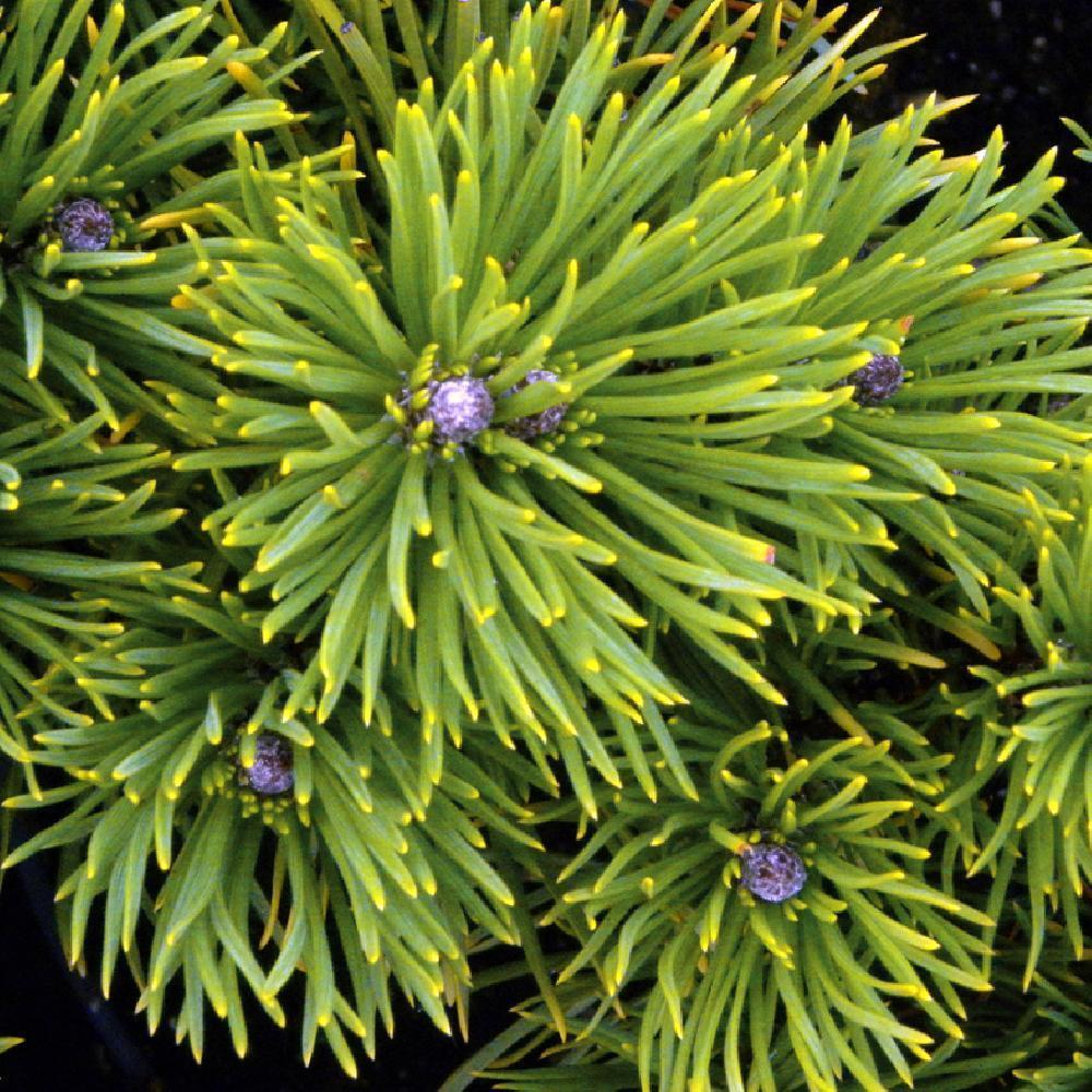 PINUS mugo 'Winter Gold' Pin de montagne image 1