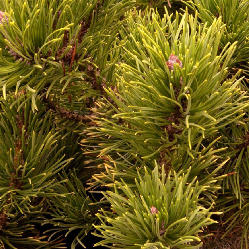 PINUS mugo 'Winter Gold' Pin de montagne image 2