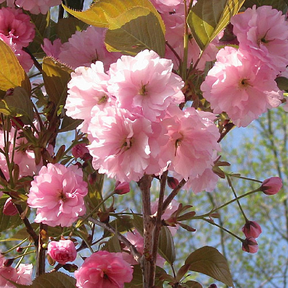 Hauteur Cerisier Du Japon prunus (serrulata) 'kanzan'