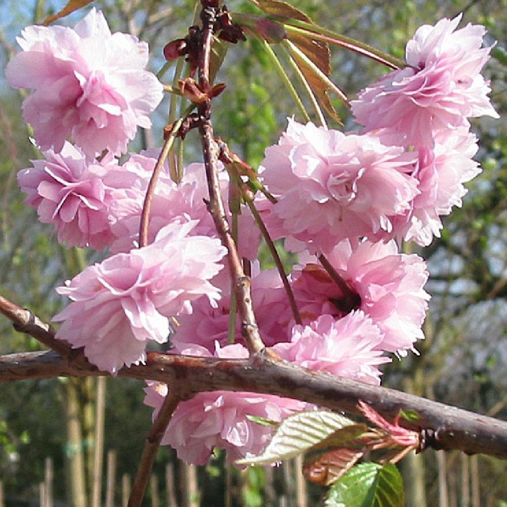 Hauteur Cerisier Du Japon prunus (serrulata) 'kiku-shidare-zakura'