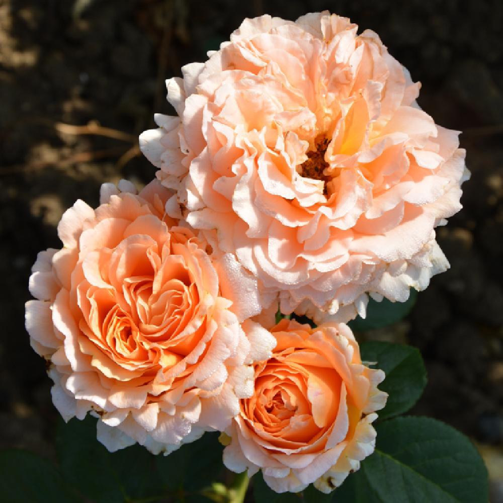 une  fleur  à trouver  - ajonc - 7 juin Bravo Martine ROSAPOL_2