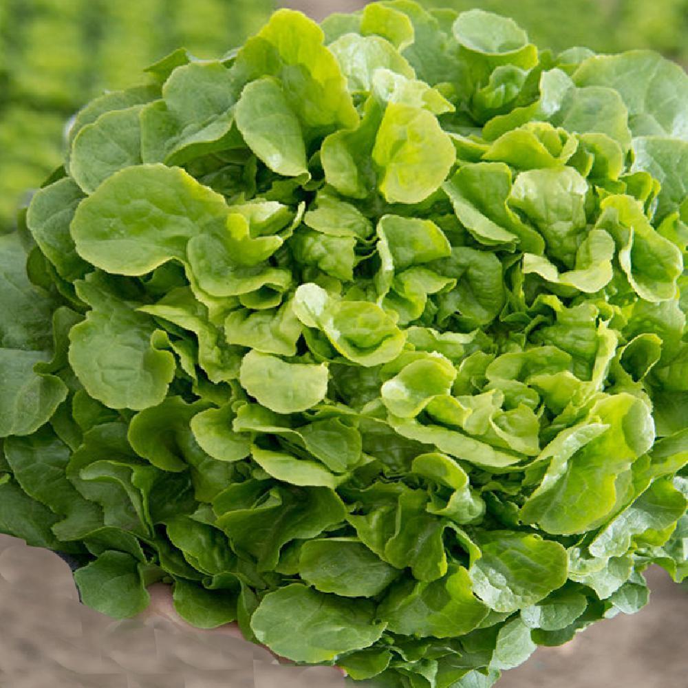 Salade Feuille De Chene Verte Perlinice Laitue Feuille De