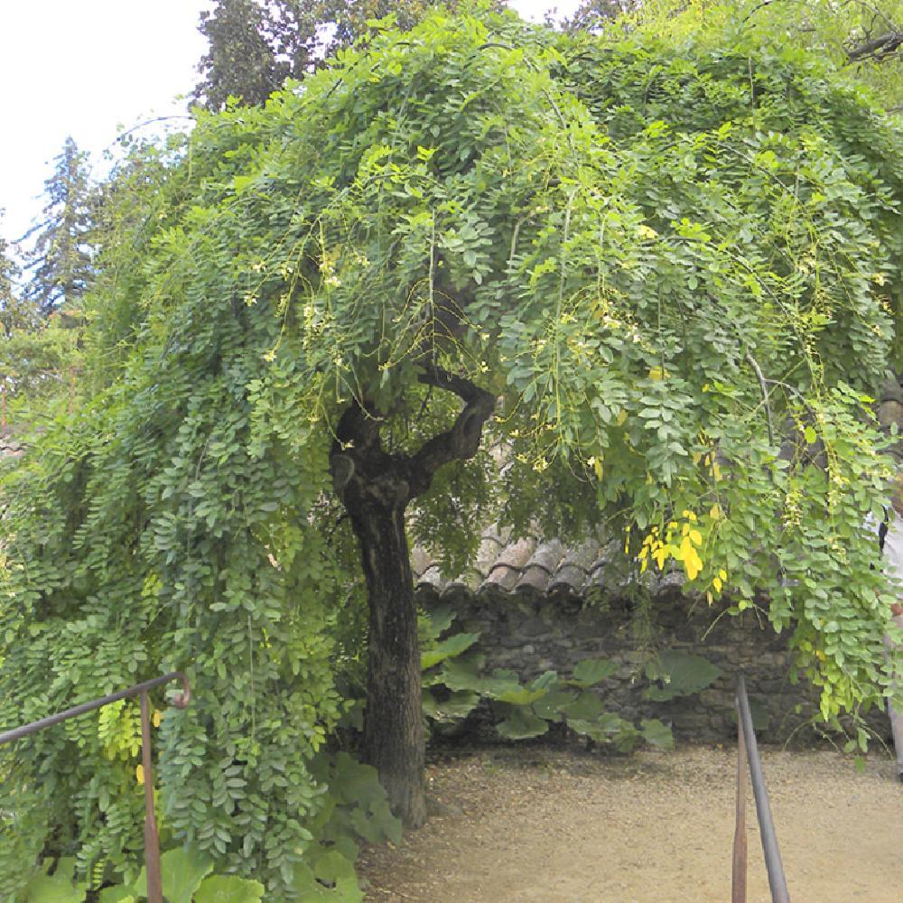 sophora japonica 'pendula' - arbre aux pagodes - sophora du japon