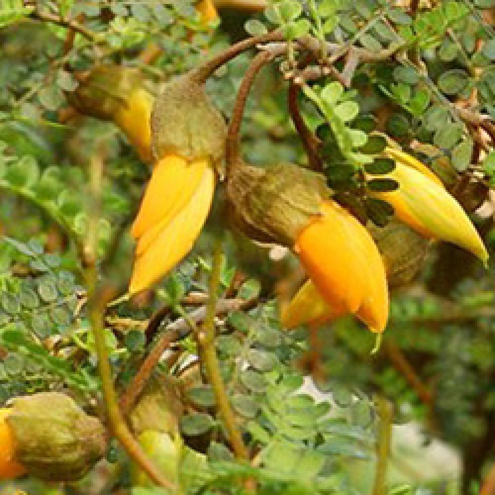 sophora (prostata) 'little baby' - arbre aux pagodes - pépinières