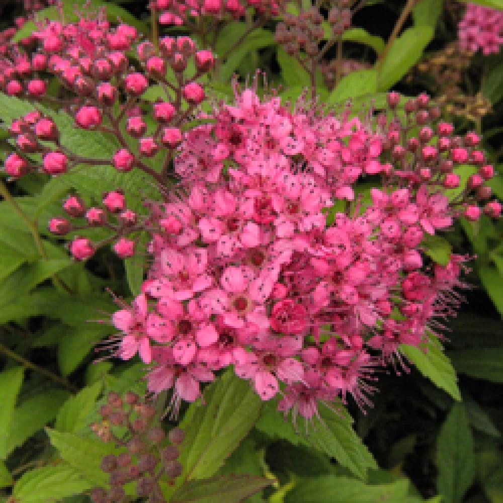 Spiraea Japonica Anthony Waterer Spiree Japonaise Pepinieres