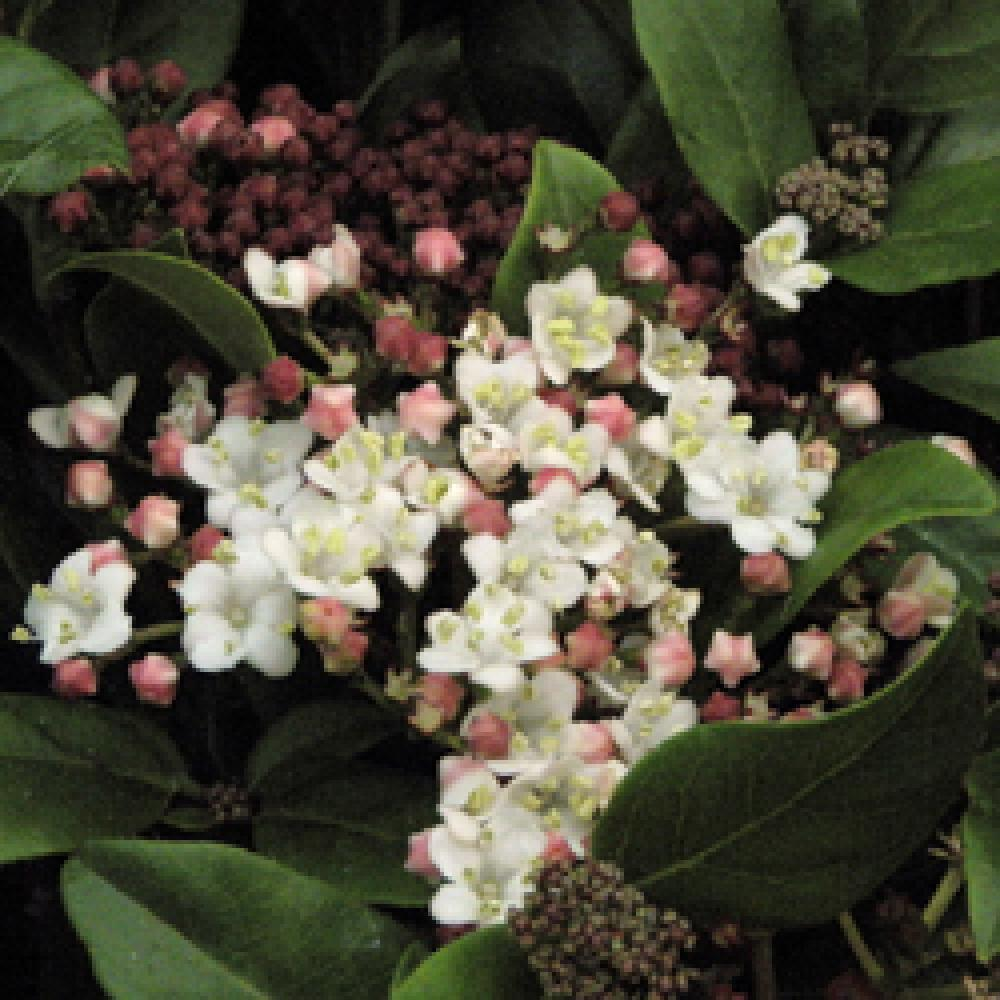Taille Du Laurier Tin viburnum tinus 'gwenllian'