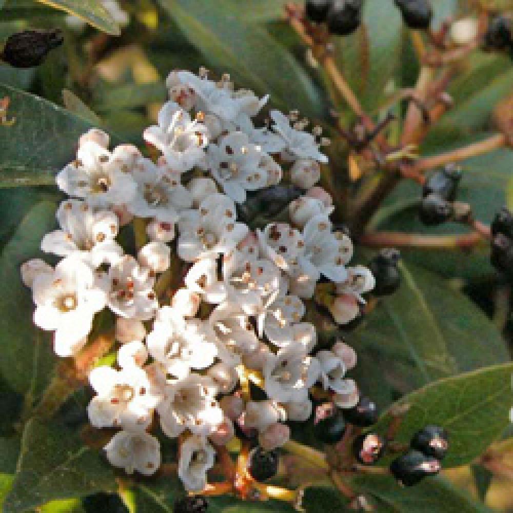 Taille Du Laurier Tin viburnum tinus
