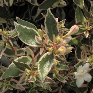 ABELIA x grandiflora 'Confetti'