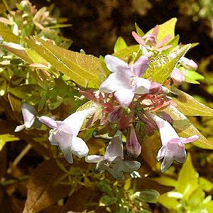 ABELIA x grandiflora 'Francis Masson'