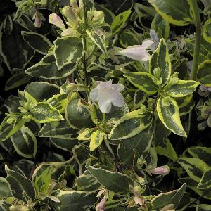 ABELIA x grandiflora 'Hopley's'