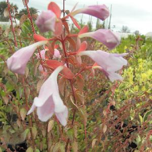 ABELIA x grandiflora 'Pinky Bells'®