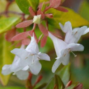 ABELIA x grandiflora 'Snowdrift'
