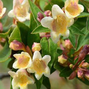 ABELIA x grandiflora SUNNY CHARM®