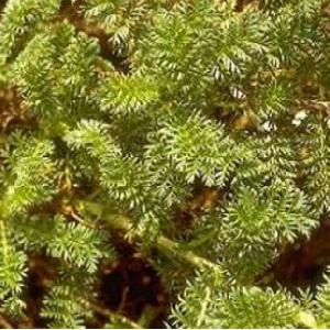 ACAENA myriophylla (A. potentillina)