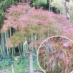 ACER palmatum ?Crimson Queen?