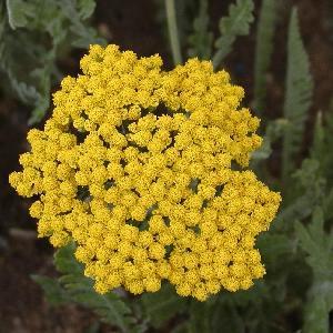 ACHILLEA 'Coronation Gold'