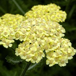 ACHILLEA 'Desert Eve Light Yellow'