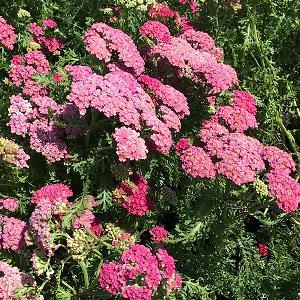 ACHILLEA millefolium 'New Vintage Rose'