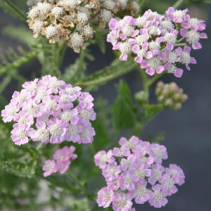 ACHILLEA millefolium 'Wonderful Wampee'