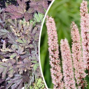 ACTAEA simplex 'Pink Spike' (Cimicifuga)