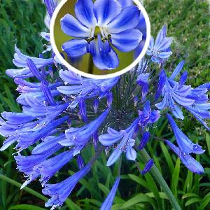 AGAPANTHUS 'Blue Giant'