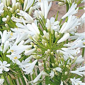 AGAPANTHUS 'Pitchoune White'