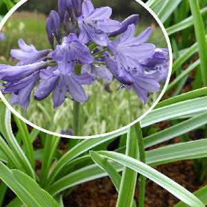 AGAPANTHUS 'Silver Moon' ®