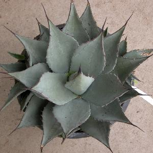 AGAVE parryi subsp. neomexicana