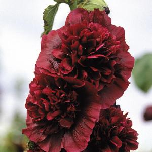 ALCEA rosea Chater's Double pourpre
