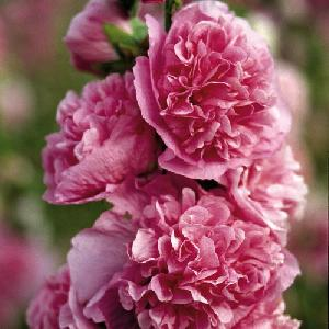 ALCEA rosea Chater's Double rose