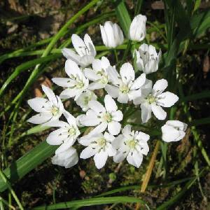 ALLIUM neapolitanum (lot de 10)