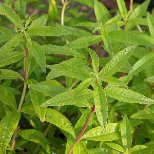 ALOYSIA triphylla (Verveine citronelle)