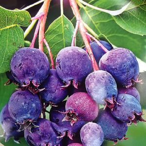 AMELANCHIER alnifolia 'Saskatoon Berry'®
