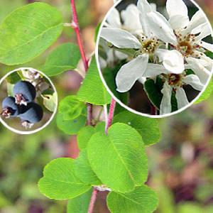 AMELANCHIER rotundifolia