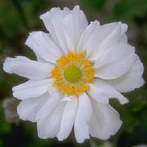 ANEMONE 'Couronne Virginale'